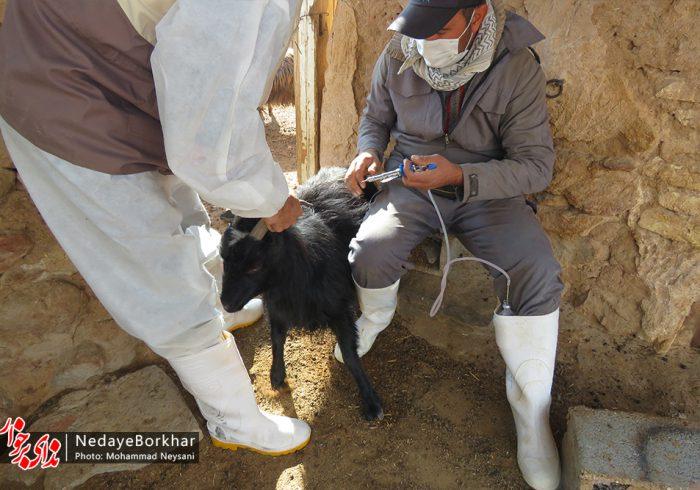 واکسیناسیون دام و طیور مناطق محروم برخوار در هفته بسیج