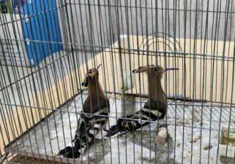 کشف دو هدهد وحشی از متخلف خرید و فروش غیر مجاز پرندگان در برخوار
